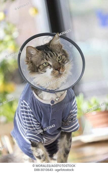 France, Alsace, Bas Rhin, domestic cat with anti-licking and scratch protection collar