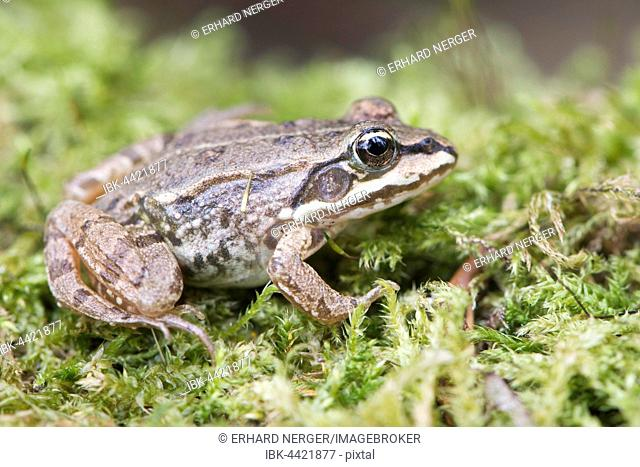 Common Frog (Rana temporaria) in moss, Rhineland-Palatinate, Germany