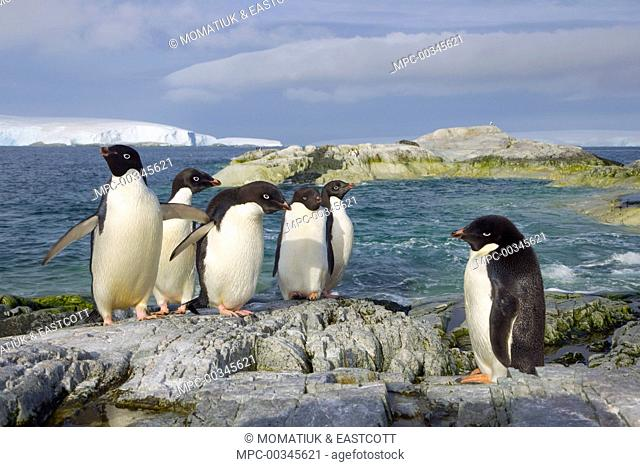 Adelie Penguin (Pygoscelis adeliae) group on coastal rocks, Armstrong Reef, western Antarctica