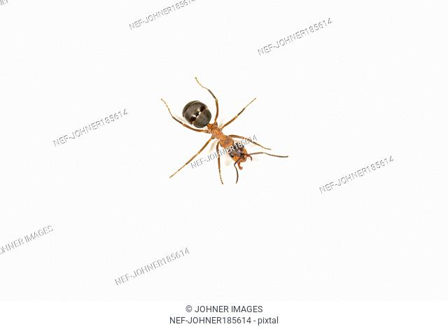 Ant on white background, close-up