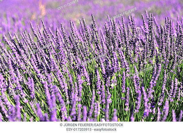 The Blossom of Lavender, Provence