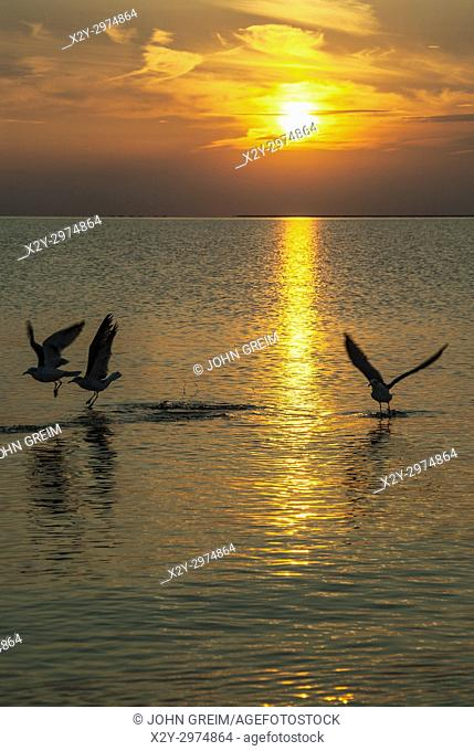 Early bird seagulls diving for food at sunrise, Cape Cod, Massachusetts, USA