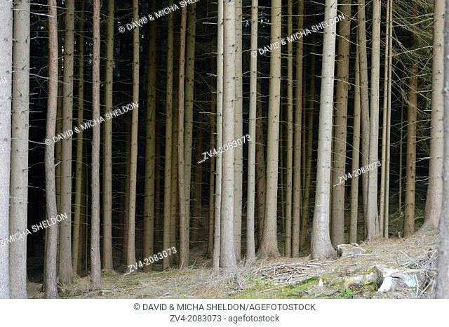 Landscape of Norway spruce (Picea abies) tree trunks in a forest in autumn, Upper Palatinate, Bavaria, Germany