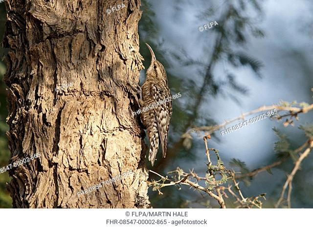 Indian Spotted Creeper (Salpornis spilonotus) adult, clinging to tree trunk, Tal Chhapar, Thar Desert, Rajasthan, India, February