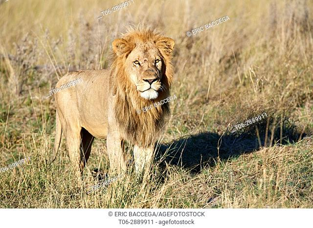 Portrait of African lion in savanna (Panthera leo) Okavango Delta, Moremi National Park, Botswana