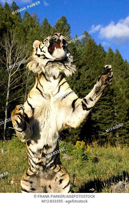 Siberian Tiger jumps into the air