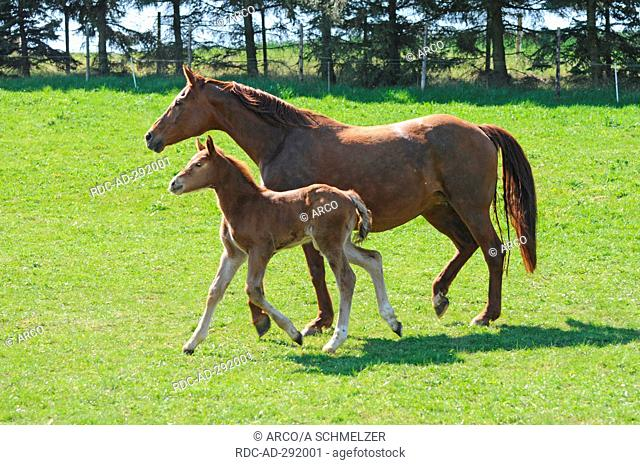 German Warmblood Horses, mare and foal / side