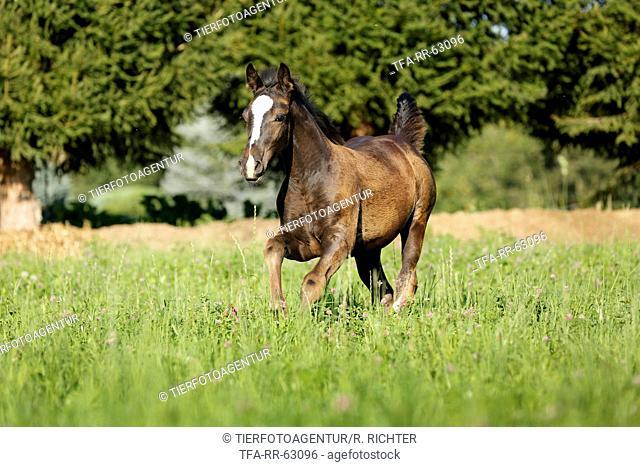galloping foal
