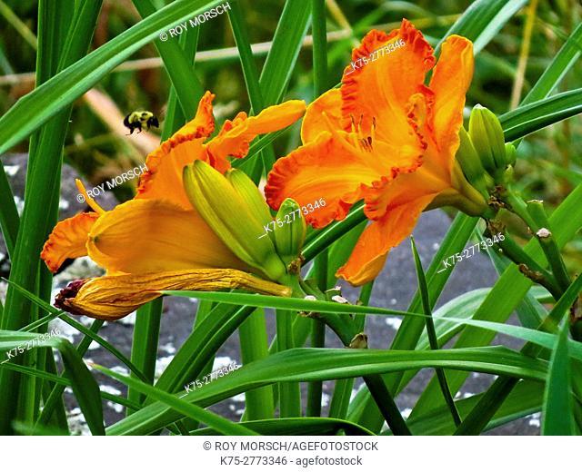 Lily, lilium