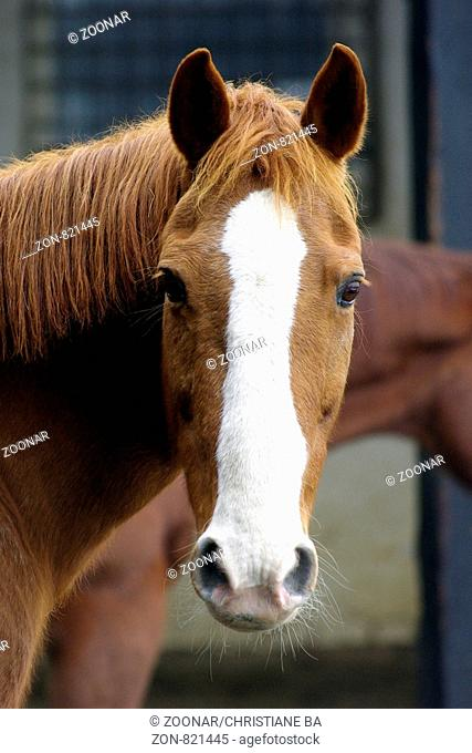 portrait of a bay mare