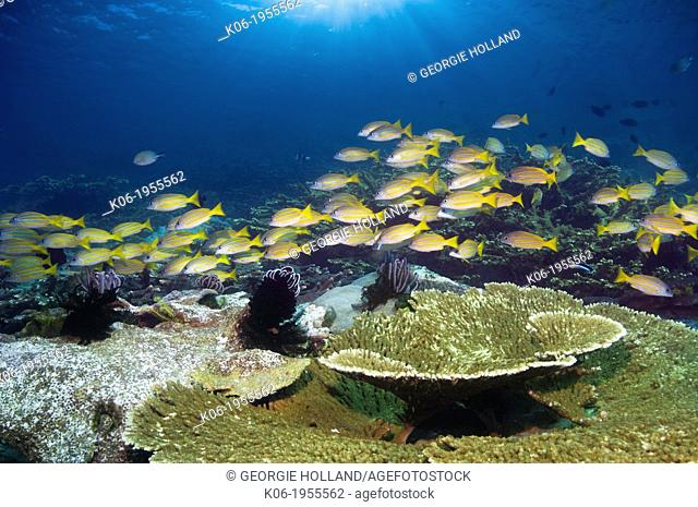 Blueline snappers (Lutjanus kasmira) school over coral reef. Indonesia