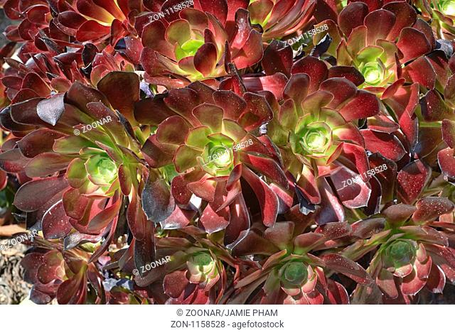 Aeonium cyclops plant, Giant Red Aeonium