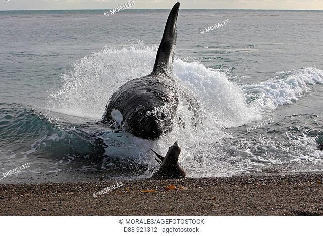 Orque Orca Orcinus orca Killer Whale Classe des Mammiferes Ordre des Cetaces Sous-ordre des Odontocetes cetaces a dents Super-famille des Delphinoides Famille...