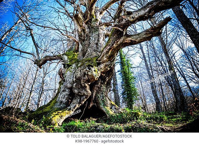 Escondelobo-chestnut Castanea sativa-, , casas del Castañar, sierra de San Bernabe, Jerte Valley, Caceres, Extremadura, Spain, europe