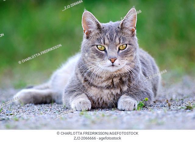 Cat (crossbreed)
