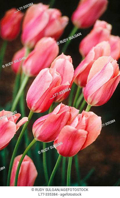 Lily-flowered tulips ('Queen of Sheba')