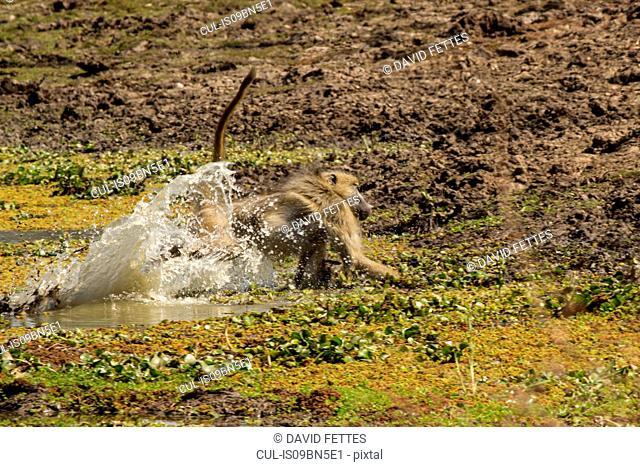Baboon (Papio cynocephalus ursinas), Mana Pools, Zimbabwe