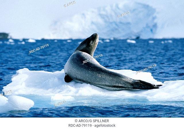 Leopard Seal on ice floe Antarctic penninsula Hydrurga leptonyx