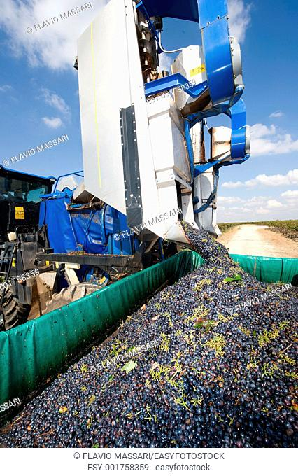 Harvesting with machine in the vineyard in Salento region, South-east Italy