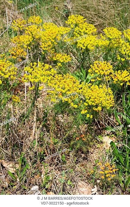 Cypress spurge (Euphorbia cyparissias) is a perennial herb native to Europe. This photo was taken in Les Alberes Natural Park, Girona province, Catalonia, Spain
