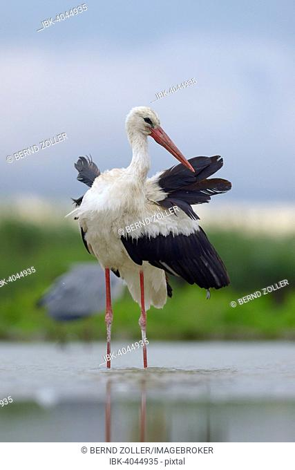White Stork (Ciconia ciconia) standing in shallow water preening, Kiskunság National Park, Hungary