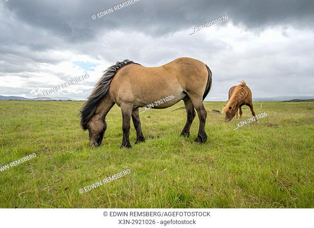 Iceland - Icelandic horse (pony) grazing on pasture, Equus ferus caballus