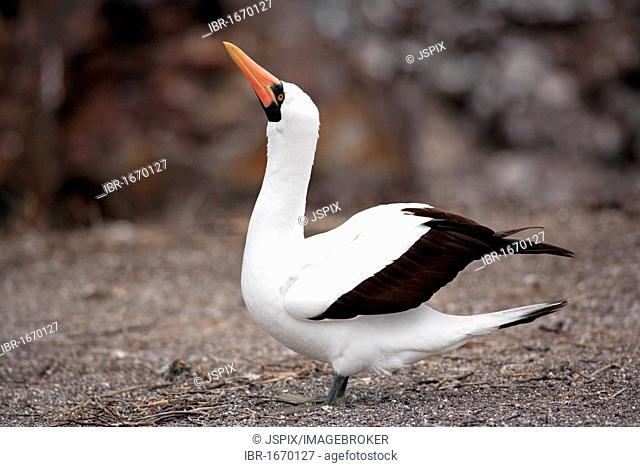 Nazca Booby (Sula granti), adult on a rock, Galapagos Islands, Pacific Ocean