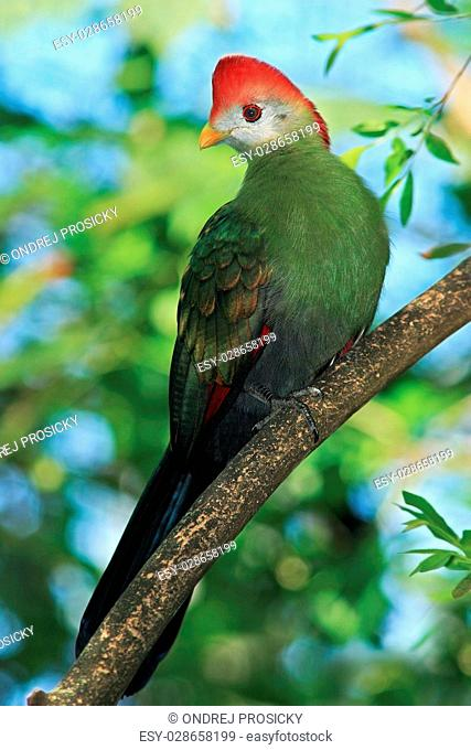 Red-Crested Turaco, Tauraco erythrolophus