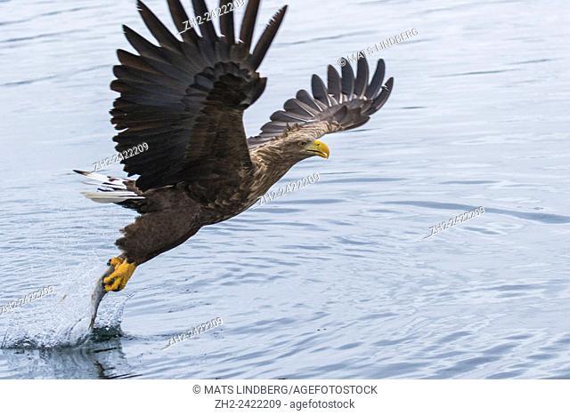 White-tailed eagle, Haliaeetus albicilla, grabbing fish, wings are spread, Andenes, Norway