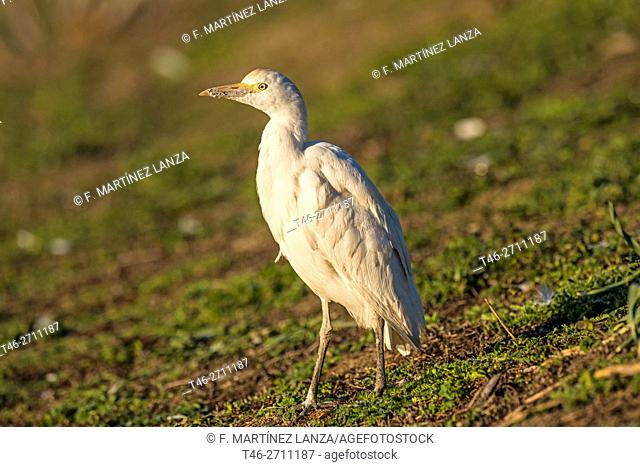 Cattle egret (Bubulcus ibis). Parque Regional del Suroeste, Madrid province, Spain