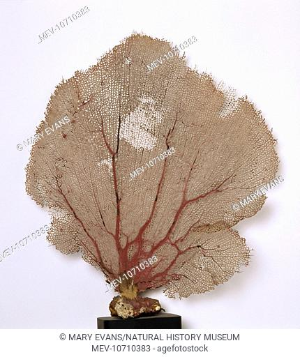 Coral skeleton of a pink sea fan from the collections of the Natural History Museum, London