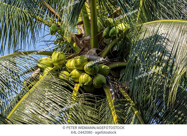 Coconut (Cocos nucifera) on a plantation, coconut cultivation, Thailand, Asia
