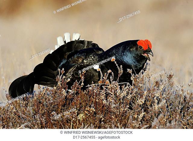 Black grouse (Tetrao tetrax) at a lek. Sweden