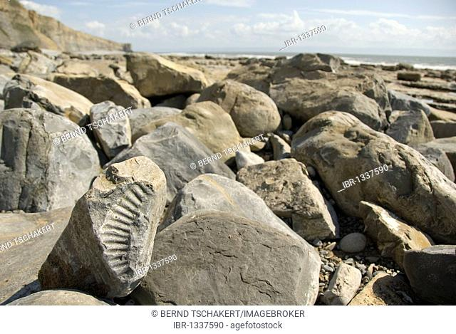 Ammonite fossil, beach, coast, Nash Point, Glamorgan Heritage Coast, South Wales, Wales, United Kingdom, Europe