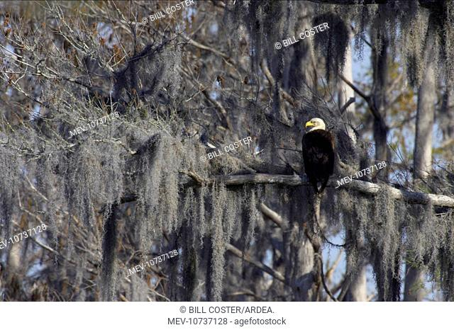 Bald Eagle - in Spanish Moss / Vegetable Horsehair draped tree (Haliaeetus leucocephalus)