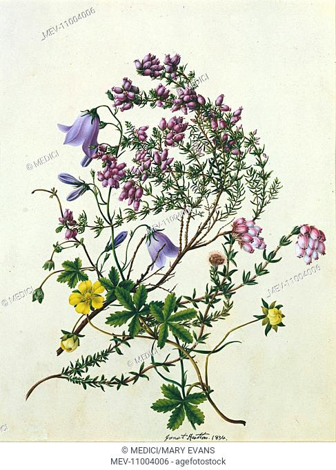 Harebells' – with bell heather and other wild flowers