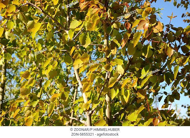 Populus tremula, Zitterpappel, Aspen