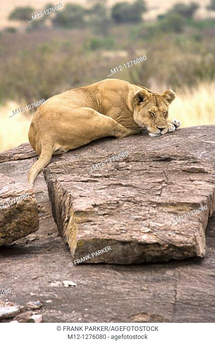 Lionesses sleeping on rocks in the Masai Mara