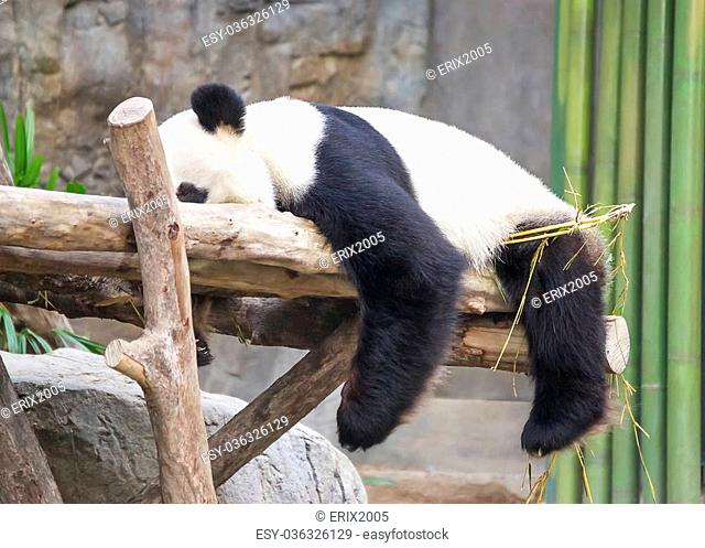 Giant panda (Ailuropoda melanoleuca) sleeping on the tree
