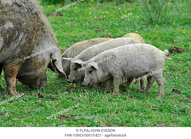 Domestic Pig, Mangalitza, sow with piglets, foraging in paddock, England, july