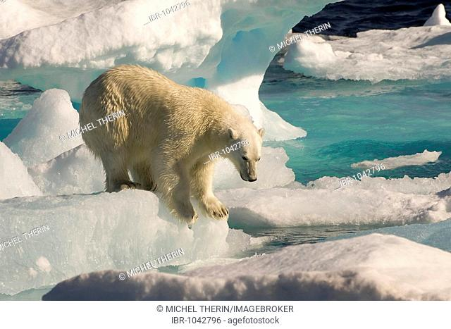 Polar Bear (Ursus maritimus) on floating ice, Davis Strait, Labrador Sea, Labrador, Canada, North America