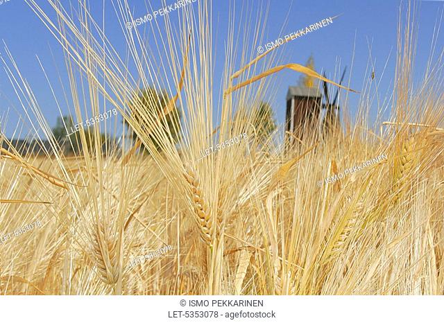 Barley grows in a field  Windmill  Agriculture  Kontiolahti, Finland