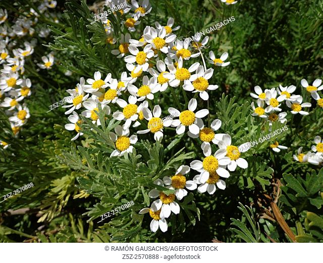 Mayweed (Matricaria sp.). Catalonia, Spain