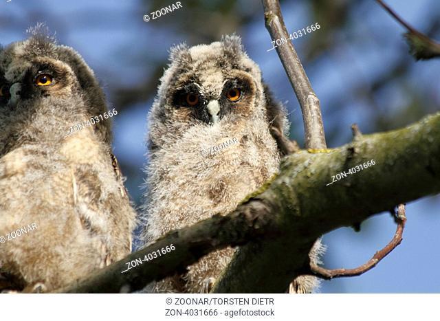 Junge Waldohreulen Asio otus auf den Ästen eines Walnussbaumes sitzend, Young birds of the Long-eared Owl Asio otus sitting in the branches of a walnut tree