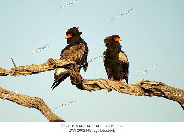 Pair of Bateleur (Terathopius ecaudatus) Eagles on tree branch in Kruger National Park in South Africa