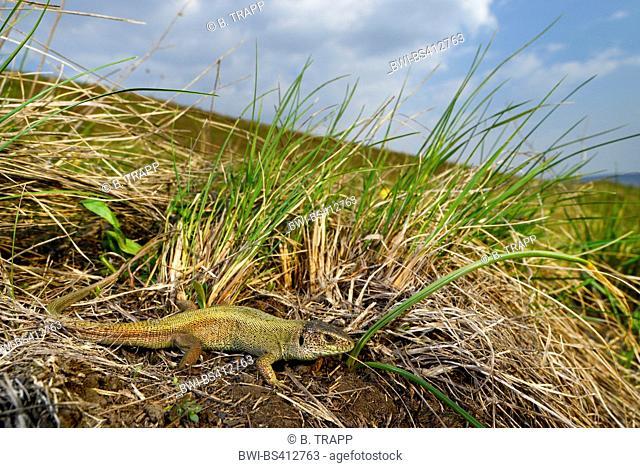 sand lizard (Lacerta agilis, Lacerta agilis chersonensis), male sand lizard without patterns, unusual concolour morph, Romania, Iași