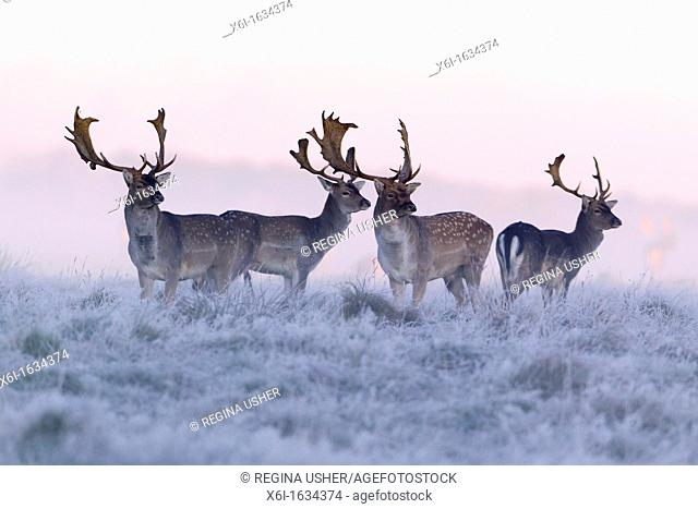 Fallow Deer Dama dama, Four Bucks at Dawn ,during the Rut, Royal Deer Park, Klampenborg, Copenhagen, Sjaelland, Denmark