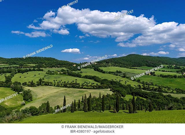 Typical green Tuscan landscape in Val d'Orcia with hills, trees, grain fields, cypresses and blue cloudy sky, La Foce, Tuscany, Italy