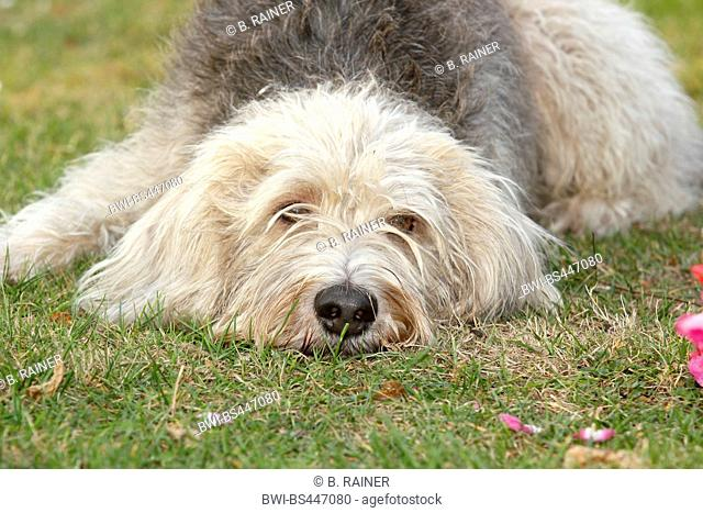 mixed breed dog (Canis lupus f. familiaris), Labradoodle mixed breed dog lying in a meadow, front view, Germany
