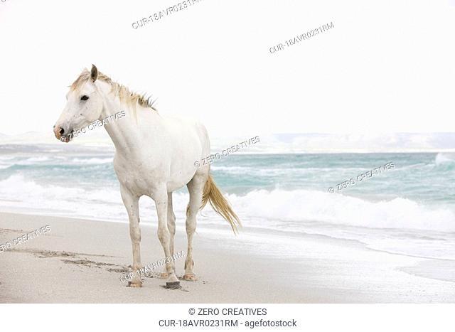 White horse beach surf